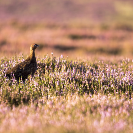 A Red Grouse amongst, Olympus E-M5MarkII, SIGMA 50-500mm F4-6.3 DG HSM