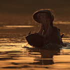 The hippopotamus is the most dangerous animal in Africa.
