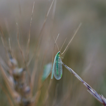 Green Lacewing in a, Nikon 1 J2, 1 NIKKOR 18.5mm f/1.8
