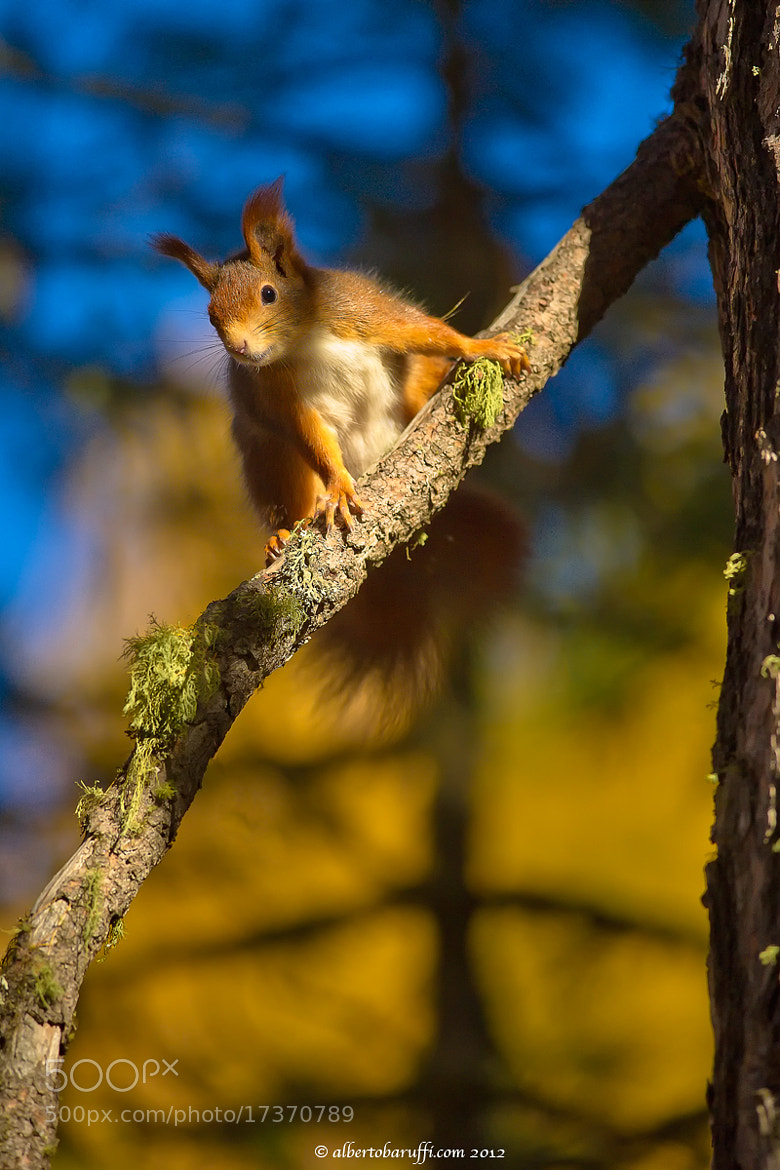 Photograph Red squirrel in autumn by Alberto Baruffi on 500px