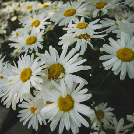 Summer Daisies, Sony ILCE-7, Canon EF-S 10-22mm f/3.5-4.5 USM