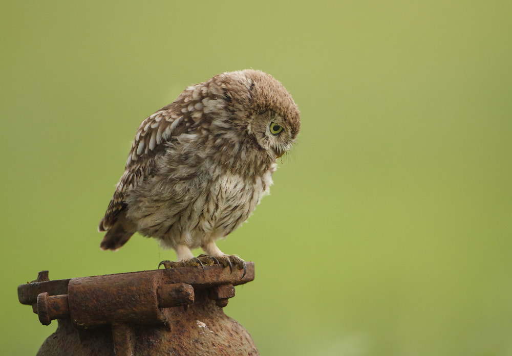 Photograph Mom i can hear something (juvenile little owl) by John Starkey on 500px