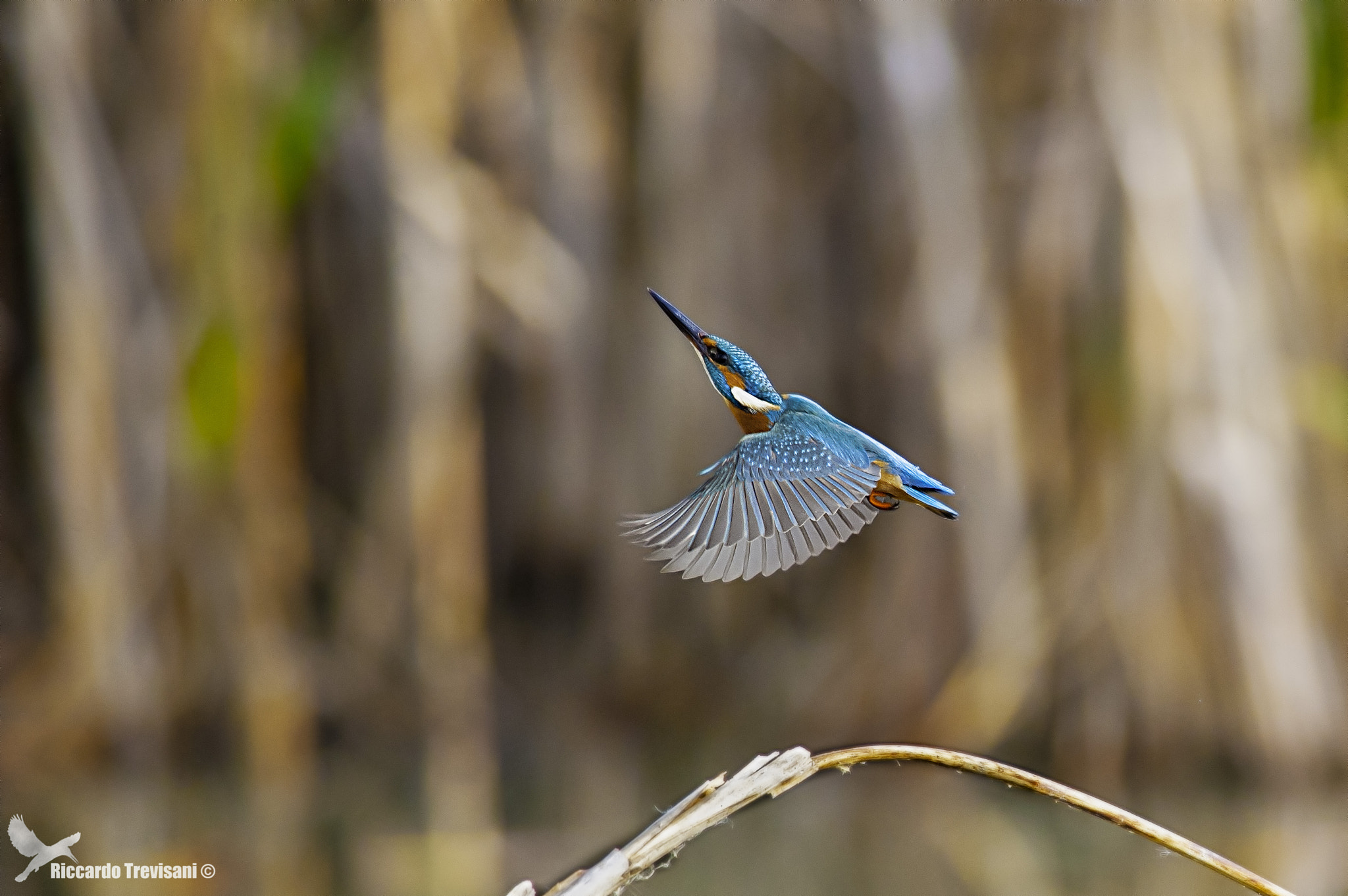 Photograph kingfisher flying by Riccardo Trevisani on 500px
