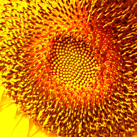 sunflower magnified, Nikon COOLPIX S6400