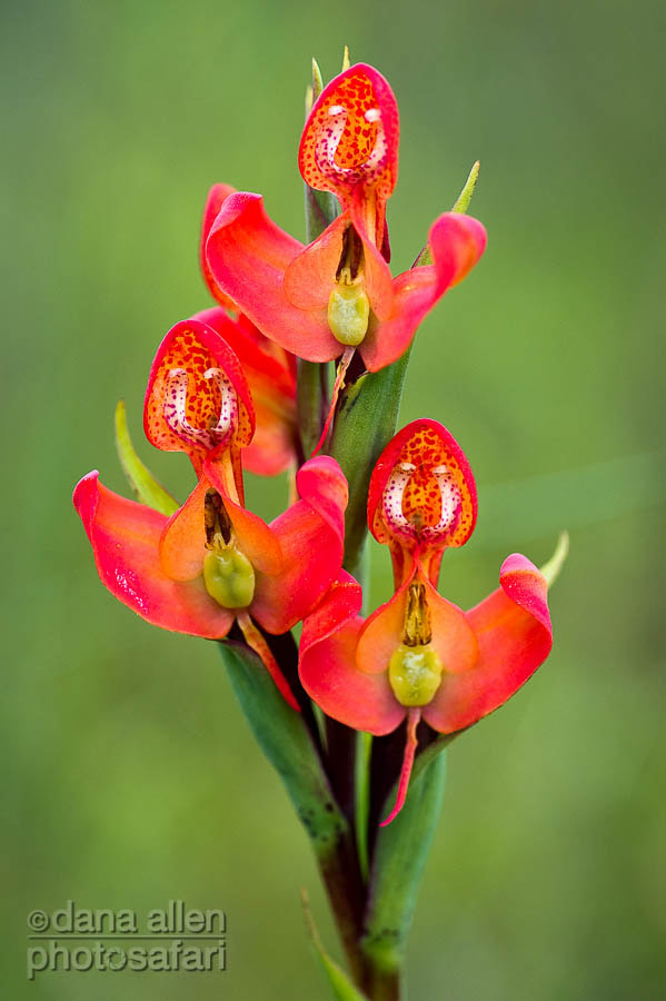 Photograph Malawi Wild Orchid (Disa erubescens) by Dana Allen on 500px