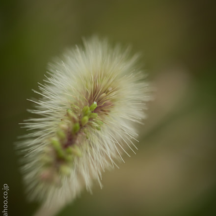 Foxtail, Canon EOS 8000D, Canon EF-S 60mm f/2.8 Macro USM