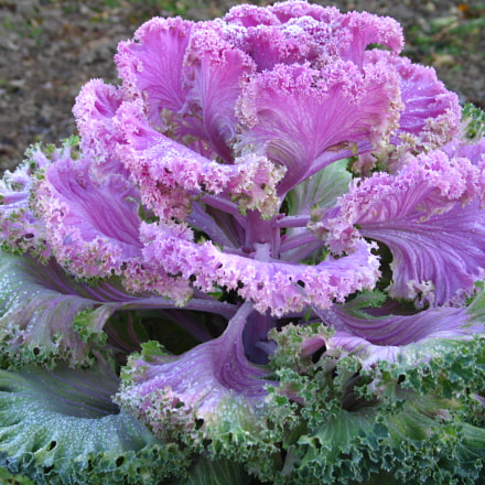 Pink cabbage, Canon POWERSHOT G6