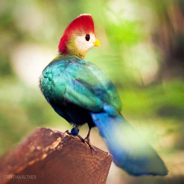 Photograph red-crested turaco (tauraco erythrolophus) by Steffen Walther on 500px