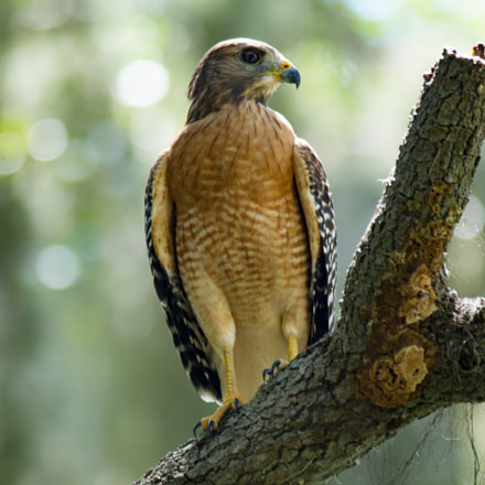 Red-Shouldered Hawk, Sony SLT-A57, Tamron SP AF 200-500mm F5.0-6.3 Di LD IF