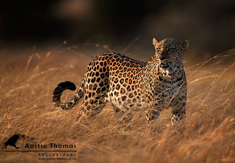 A leopard anyone?