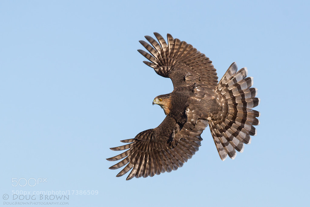 Photograph Cooper's Hawk by Doug Brown on 500px