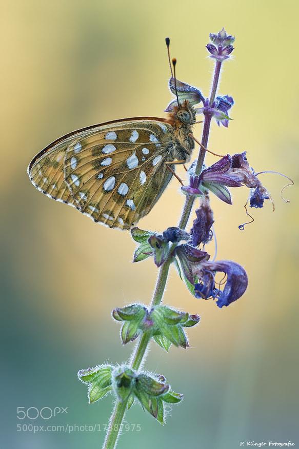 Photograph Argynnis aglaja by Philip Klinger on 500px