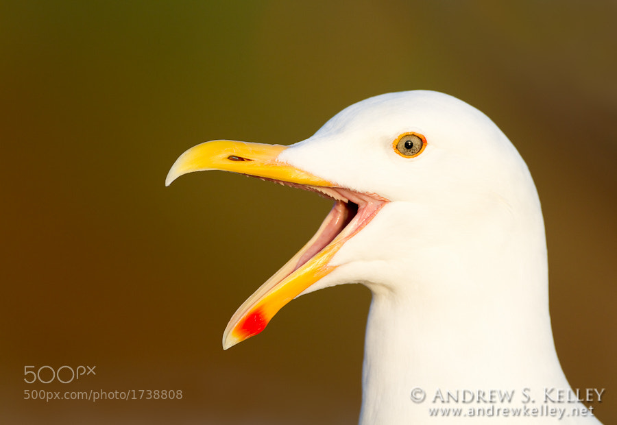 Photograph Western Gull by Andrew Kelley on 500px