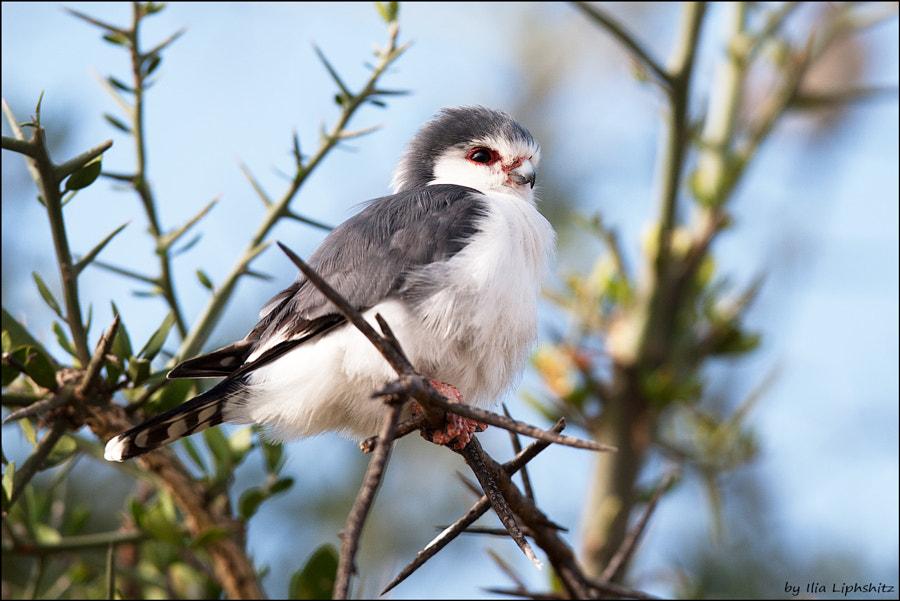 Pygmy Falcon №1