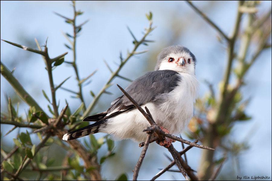 Pygmy Falcon №2