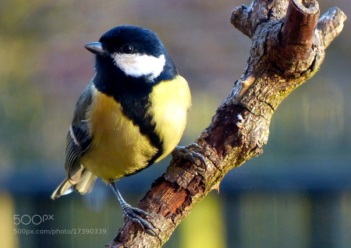 Photograph Kohlmeise / great tit  by Hans-E. Wyrwich on 500px