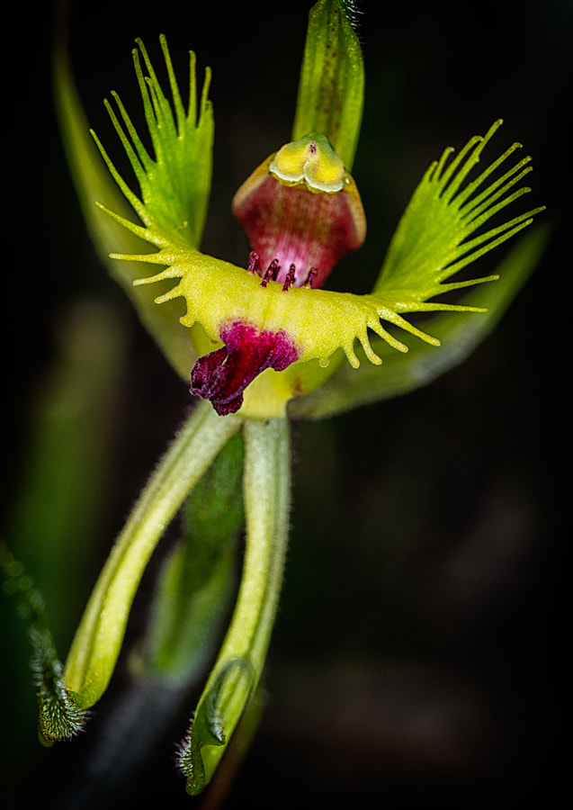 Fringed Mantis Orchid by Paul Amyes on 500px.com