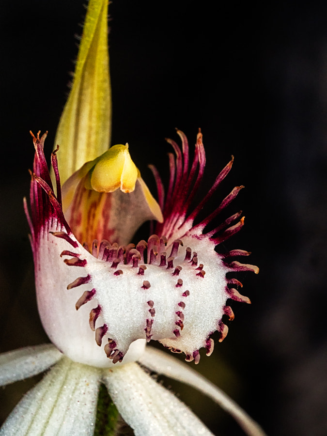 White Spider Orchid by Paul Amyes on 500px.com