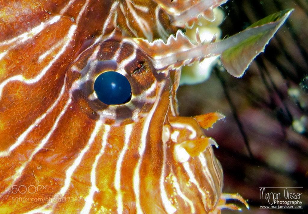Photograph Lionfish  by Marjan  Visser on 500px