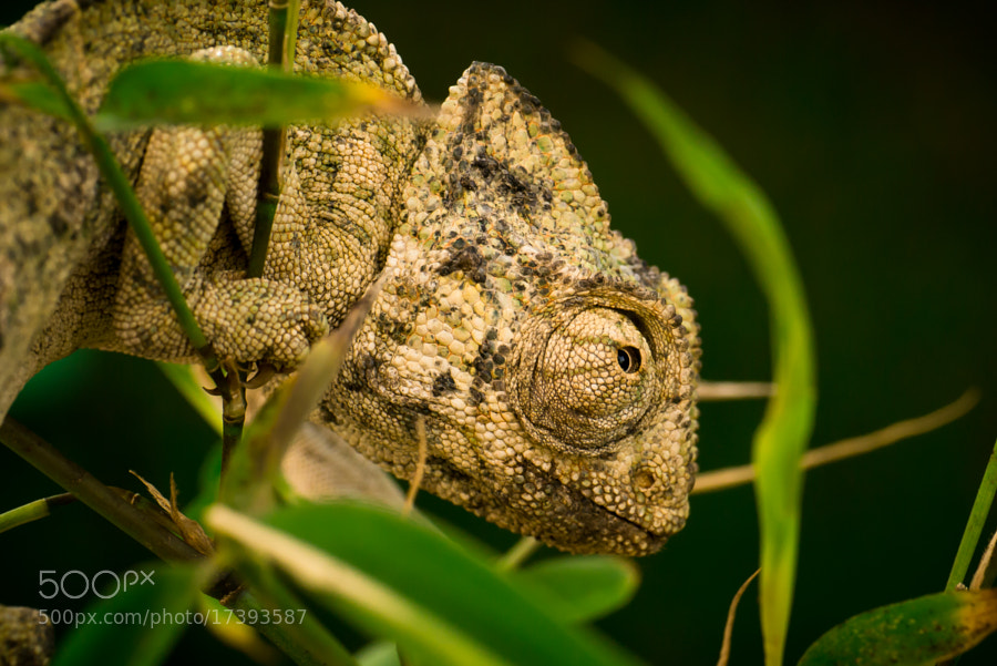 Photograph Chameleon - 2 by Amine Fassi on 500px