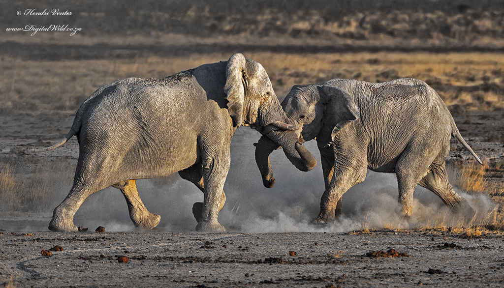 Photograph Elephant Skirmish by Hendri Venter on 500px