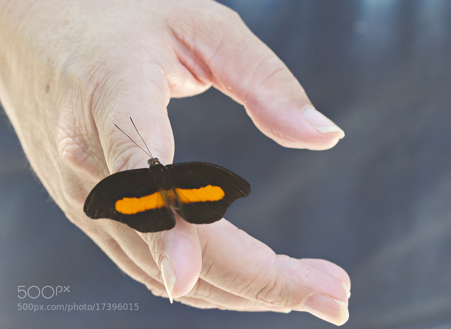 I placed my finger underneath this Grecian Shomaker butterfly to lift him of the sidewalk at Butterfly World. He stayed for at least 20 minutes, even allowing me to press the shutter with him on my finger. This photo was taken by a stranger whom I had handed my camera.