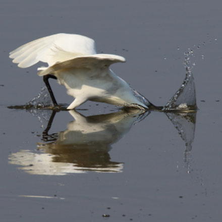 Little Egret fishing., Canon EOS 7D MARK II, Sigma 150-600mm f/5-6.3 DG OS HSM | S