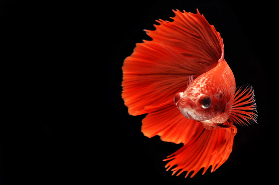 Photograph Red Fish by Masgareng Sucipto on 500px