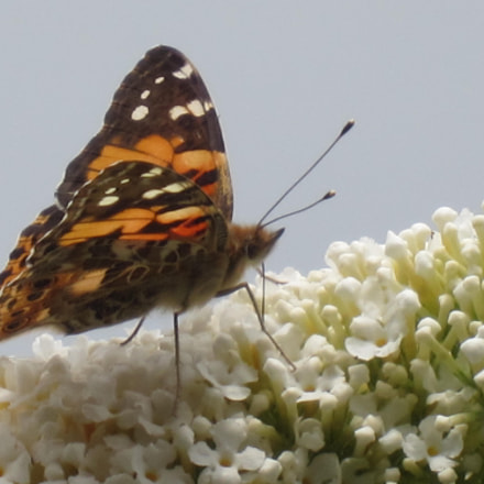 Butterfly Painted lady Vanessa, Canon IXUS 220HS