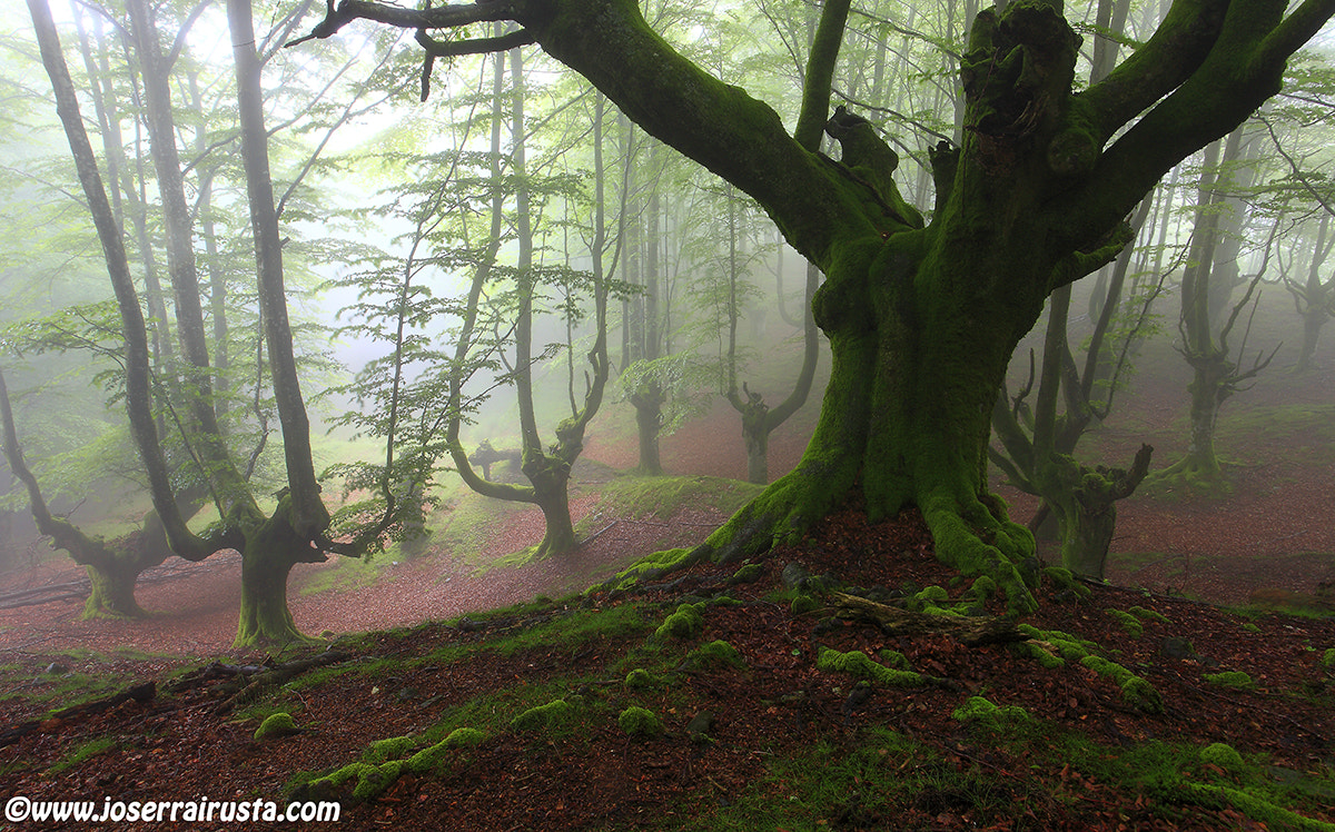 Photograph The fog slips on the wet foliage  by joserra irusta on 500px