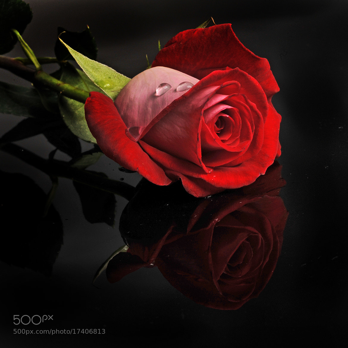 Photograph Red Rose for dislikers by Cristobal Garciaferro Rubio on 500px