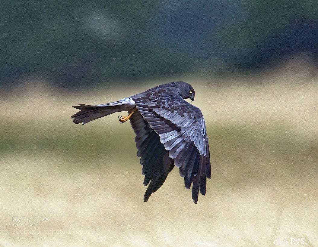 Photograph Montagu's Harrier male by Raviraj Shah on 500px