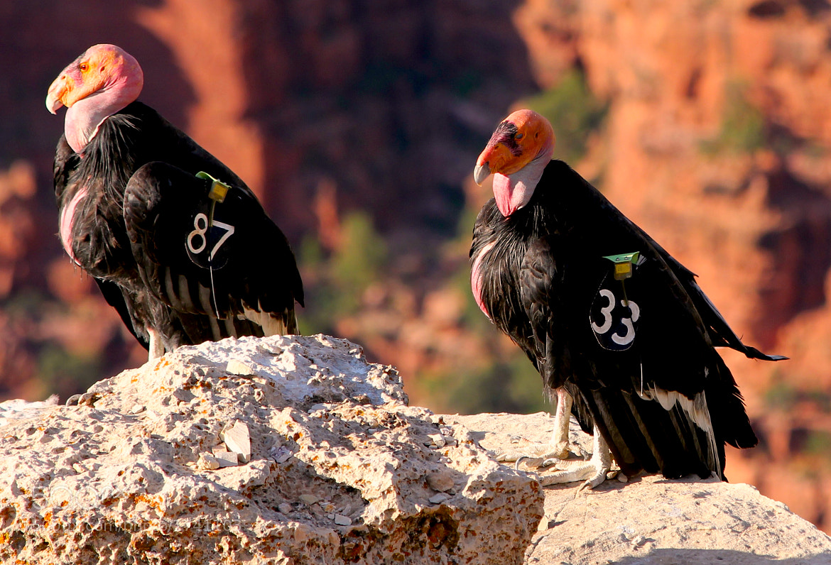 Photograph California Condors by Jim Ross on 500px