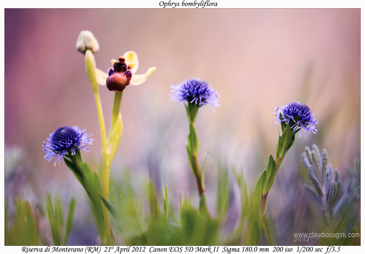 Photograph Ophrys bombyliflora by Claudio Cugini on 500px