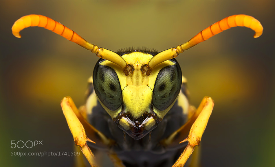 Photograph bee handsome by Omid Golzar on 500px