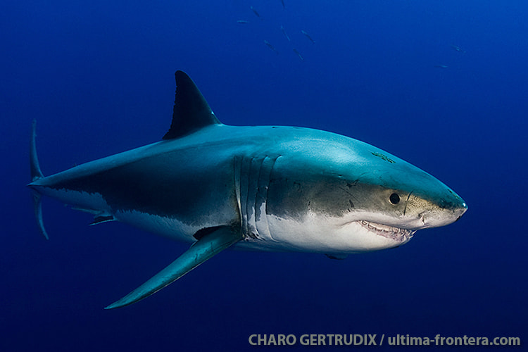 Photograph White shark by Charo Gertrudix on 500px