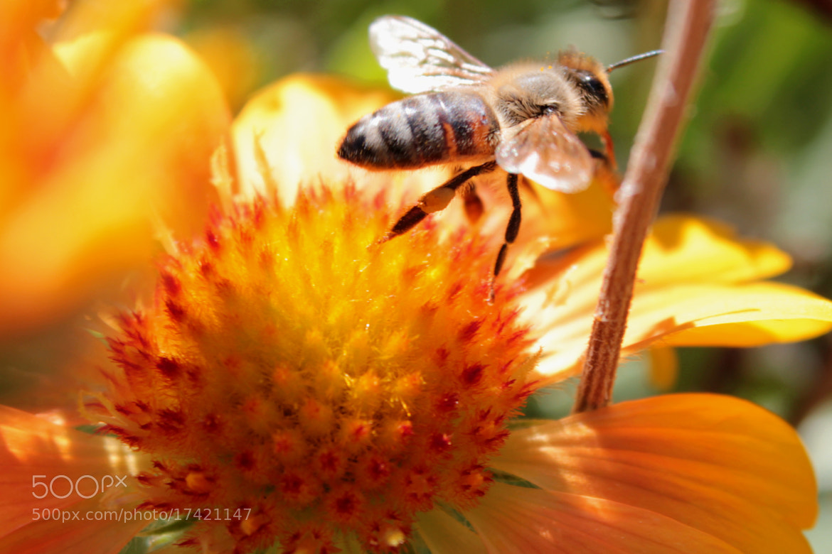 Photograph Bee Takeoff by Andi H. on 500px