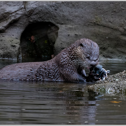 River Otter, Canon EOS 5DS R, Canon EF 400mm f/4 DO IS II USM