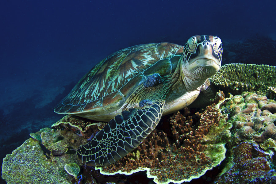 Sleepy Green Turtle by Daniel Ehrensberger on 500px.com