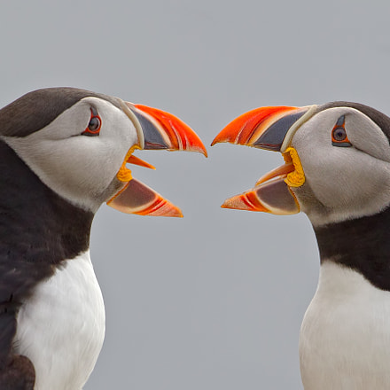 Atlantic Puffins Debating
