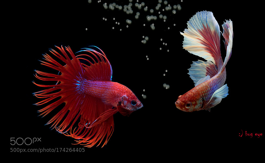 Siam Fighting Fishs