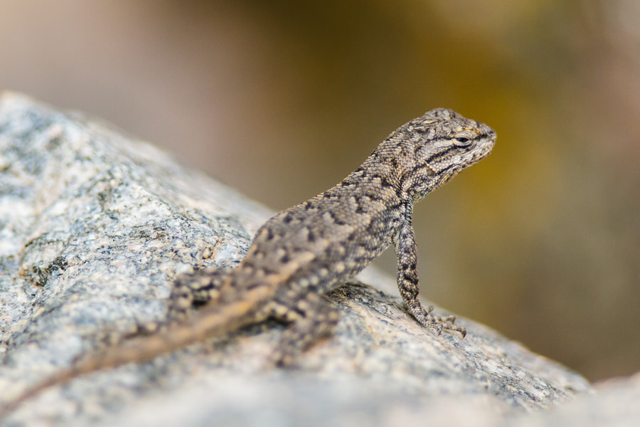 Photograph .: Northern Plateau Lizard :. by Jon Rista on 500px