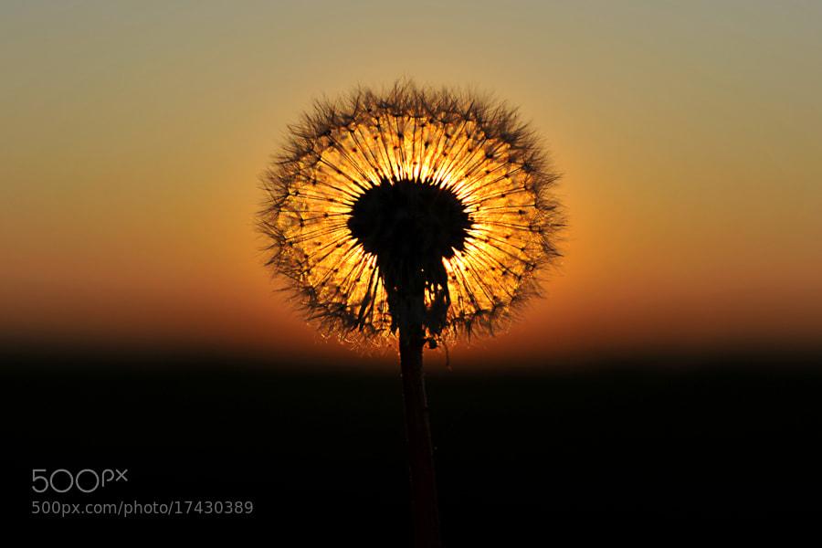 Photograph dandelion flower by Dominik Fras on 500px
