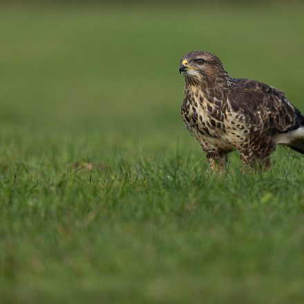 common buzzard, Canon EOS 5DS, Canon EF 200-400mm f/4L IS USM
