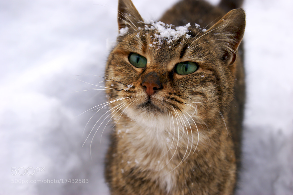 Photograph cat by Caqlar Sсгэάм. on 500px
