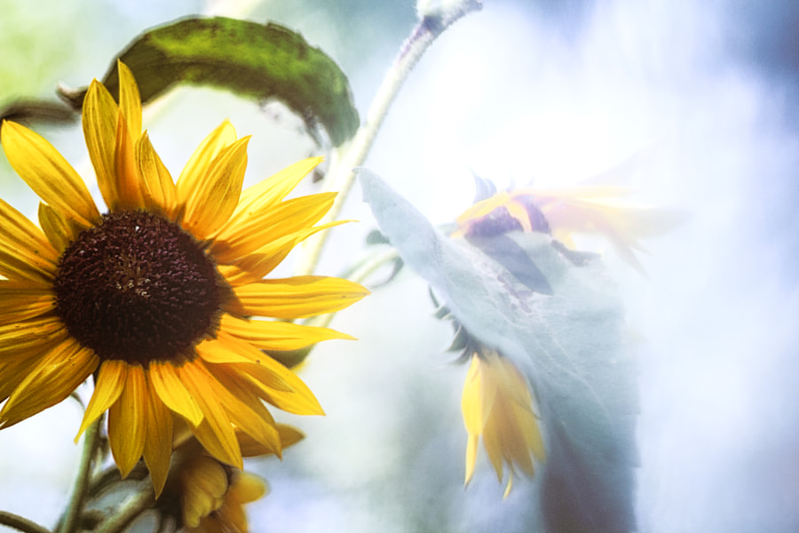 September Sunflower Memory II by Jeff Carter on 500px.com