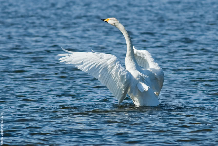 Photograph Whooper Swan by Andrey Goncharov on 500px