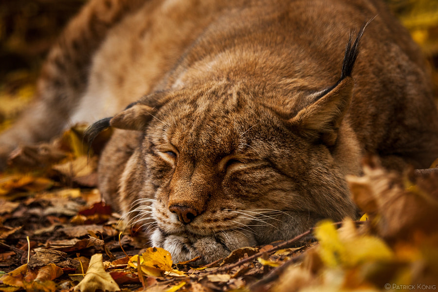 Photograph snoozing lynx by Patrick König on 500px