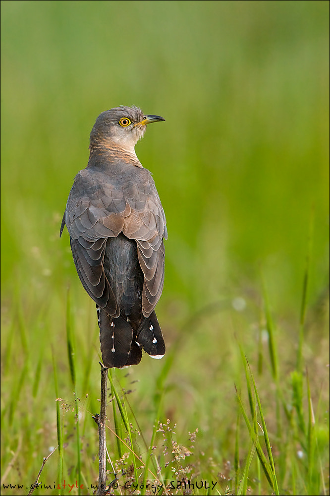 Photograph Common Cuckoo (Cuculus canorus) by Gyorgy Szimuly on 500px
