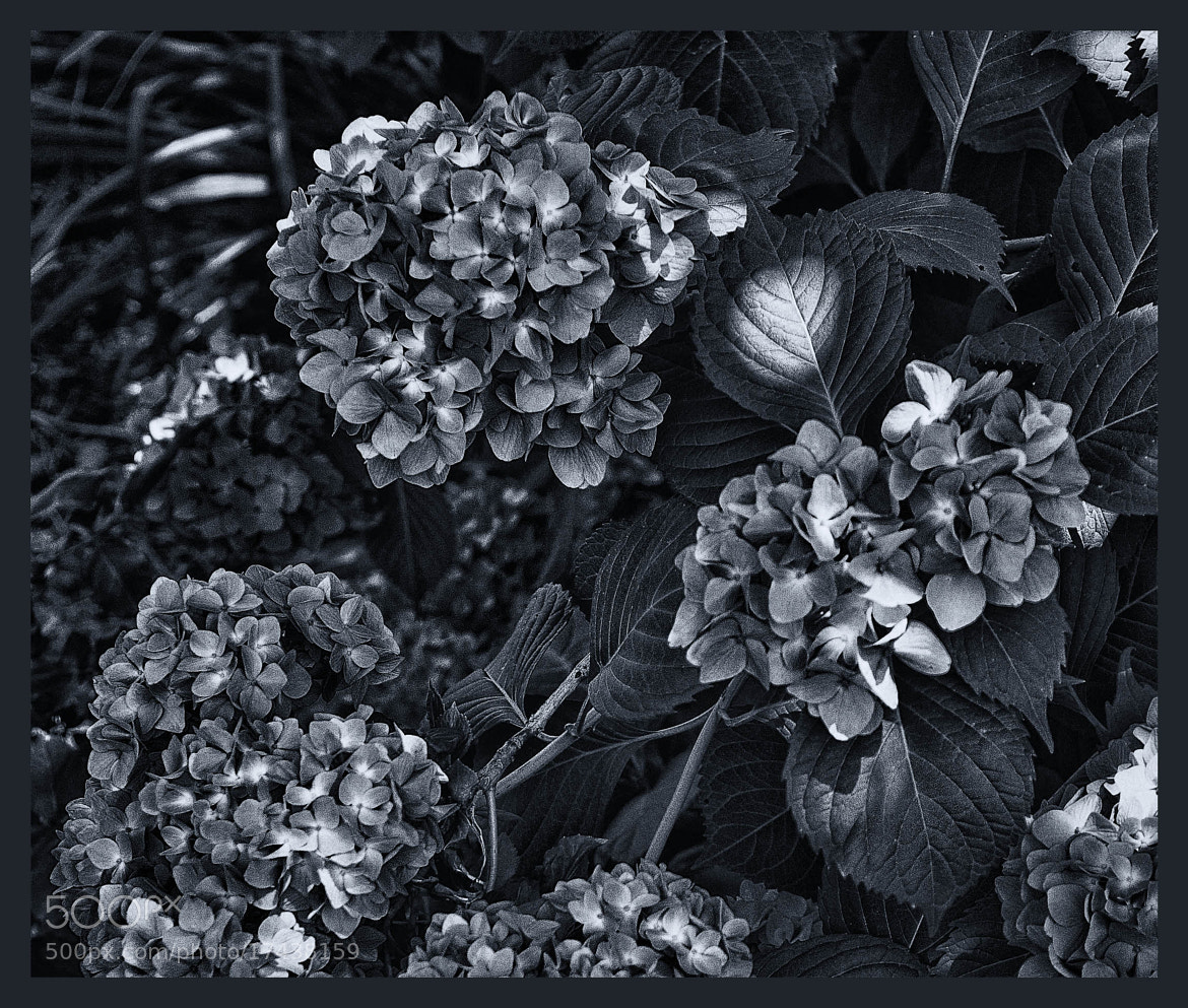 Photograph Hydrangeas by Ronald Roberts on 500px